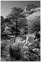 Sotol in wash in Pine Spring Canyon. Guadalupe Mountains National Park, Texas, USA. (black and white)