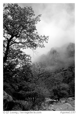 Autumn colors, wash, and clearing clouds, Pine Spring Canyon. Guadalupe Mountains National Park (black and white)