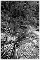 Desert Sotol and autumn foliage in Pine Spring Canyon. Guadalupe Mountains National Park, Texas, USA. (black and white)