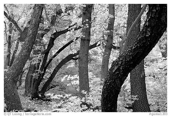 Twisted tree trunks and autumn colors, Smith Springs. Guadalupe Mountains National Park (black and white)