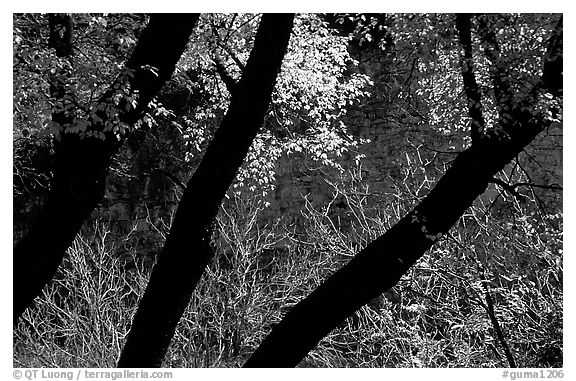 Dark trunks and autumn foliage near Smith Springs. Guadalupe Mountains National Park (black and white)