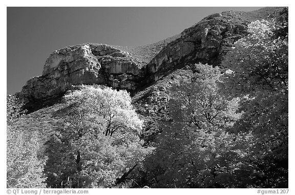Trees in autumn foliage and cliffs,McKittrick Canyon. Guadalupe Mountains National Park (black and white)