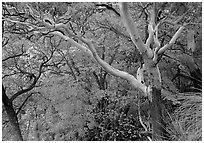 Texas Madrone Tree and autumn color, Pine Canyon. Guadalupe Mountains National Park, Texas, USA. (black and white)