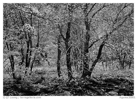 Autumn colors in  Pine Spring Canyon. Guadalupe Mountains National Park (black and white)