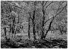 Trees in Autumn foliage, Pine Spring Canyon. Guadalupe Mountains National Park ( black and white)