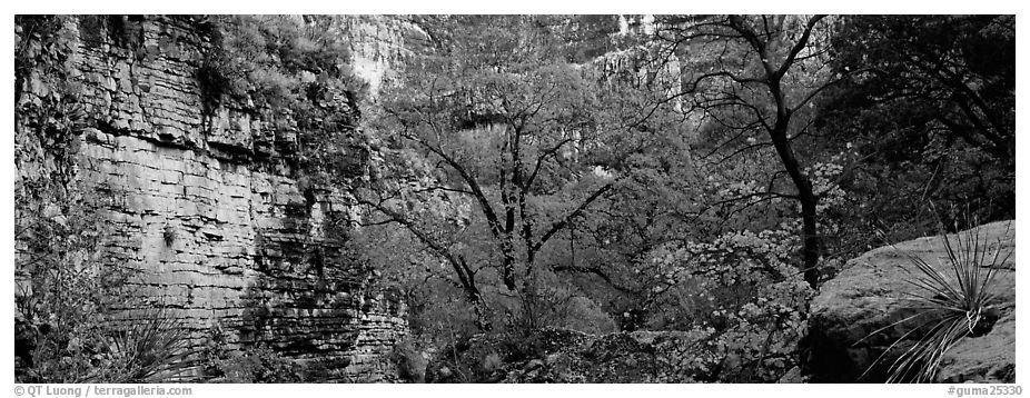 Maple with red autumn foliage in canyon. Guadalupe Mountains National Park (black and white)