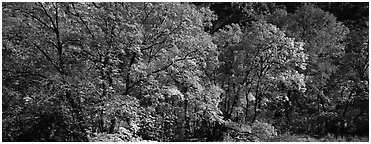 Trees in bright yellow, orange, and red fall foliage. Guadalupe Mountains National Park (Panoramic black and white)