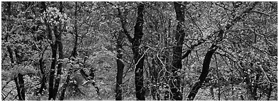 Trees with leaves in autumn colors. Guadalupe Mountains National Park (Panoramic black and white)
