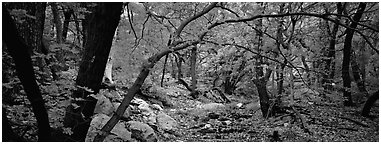Creek in autumn. Guadalupe Mountains National Park (Panoramic black and white)