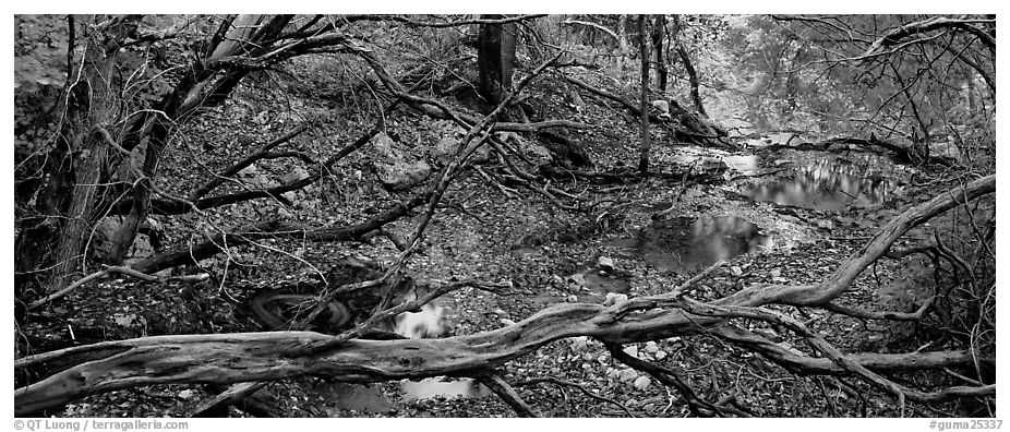 Branches and creek in the fall. Guadalupe Mountains National Park (black and white)