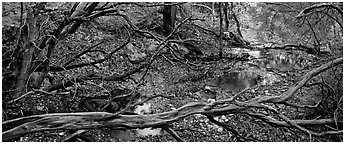 Branches and creek in the fall. Guadalupe Mountains National Park (Panoramic black and white)