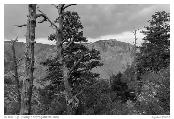 Pine trees, Pine Springs Canyon, cloudy weather. Guadalupe Mountains National Park (black and white)