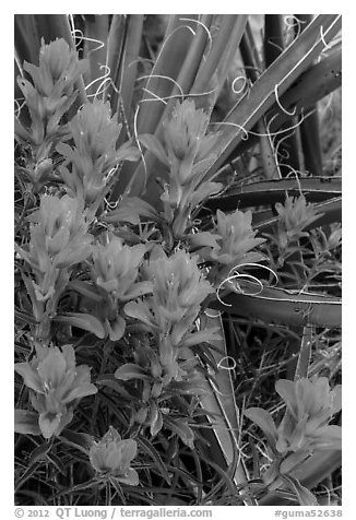 Close-up of Indian paintbrush and sotol. Guadalupe Mountains National Park (black and white)