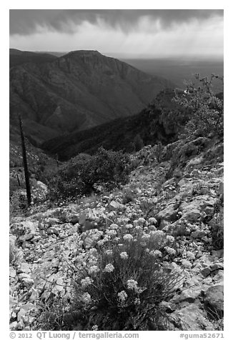 Flowers, Hunter Peak, Pine Spring Canyon. Guadalupe Mountains National Park (black and white)