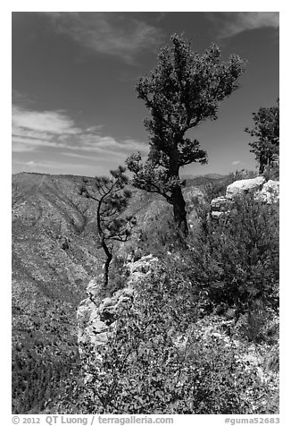 Pine trees and limestone rock. Guadalupe Mountains National Park (black and white)