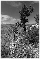Pine trees and limestone rock. Guadalupe Mountains National Park ( black and white)
