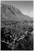 Cactus with bloom, Hunter Peak. Guadalupe Mountains National Park ( black and white)