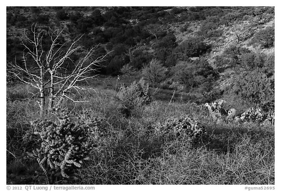 Cactus, bare thorny shrubs. Guadalupe Mountains National Park (black and white)