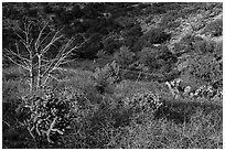 Cactus, bare thorny shrubs. Guadalupe Mountains National Park ( black and white)