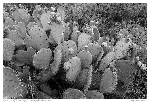 Prickly Pear cactus in bloom. Guadalupe Mountains National Park (black and white)