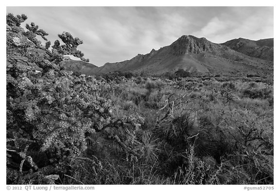 Cactus with blooms and Hunter Peak at sunrise. Guadalupe Mountains National Park (black and white)