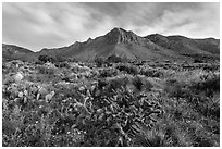 Chihuahan desert cactus and mountains. Guadalupe Mountains National Park, Texas, USA. (black and white)