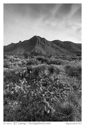 Sucullent and shrub desert below mountains at sunrise. Guadalupe Mountains National Park (black and white)