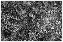 Close-up of desert floor with annual flowers. Guadalupe Mountains National Park, Texas, USA. (black and white)