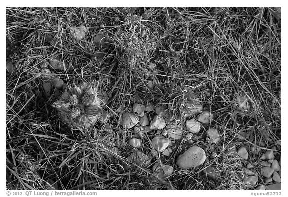 Close-up of desert floor with grasses and bloom. Guadalupe Mountains National Park (black and white)