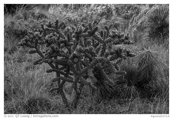 Cactus with pink flowers. Guadalupe Mountains National Park (black and white)
