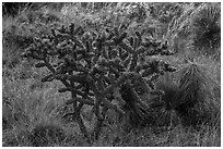 Cactus with pink flowers. Guadalupe Mountains National Park ( black and white)
