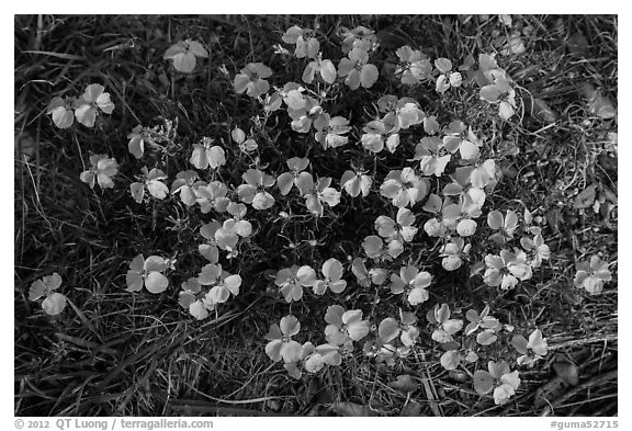 Yellow desert flowers close-up. Guadalupe Mountains National Park (black and white)