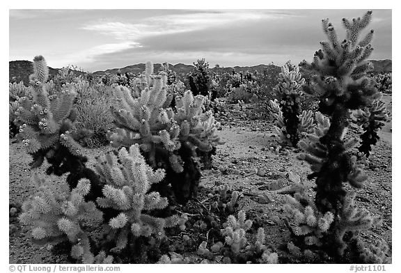 Cholla cactus garden. Joshua Tree National Park (black and white)