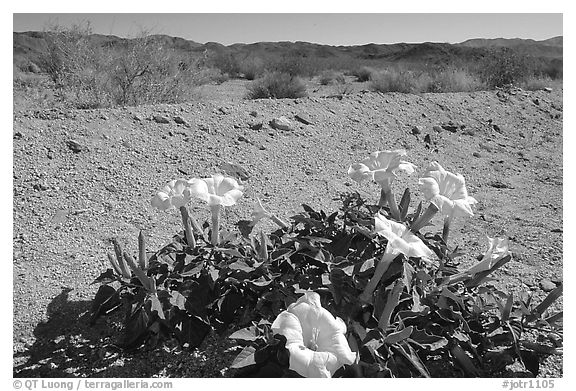 Dune Primerose. Joshua Tree National Park (black and white)