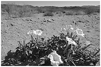 Dune Primerose. Joshua Tree National Park ( black and white)