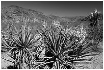 Yuccas in bloom. Joshua Tree National Park ( black and white)