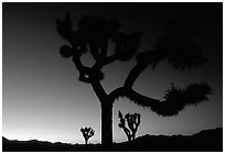 Joshua Trees silhouette at sunset. Joshua Tree National Park, California, USA. (black and white)