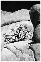 Bare bush and rocks in Hidden Valley. Joshua Tree National Park ( black and white)
