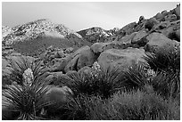 Yuccas and rocks in Rattlesnake Canyon. Joshua Tree National Park, California, USA. (black and white)