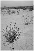 Wildflowers in bloom on sandy wash. Joshua Tree National Park, California, USA. (black and white)