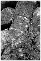 Purple flowers and rocks. Joshua Tree National Park, California, USA. (black and white)