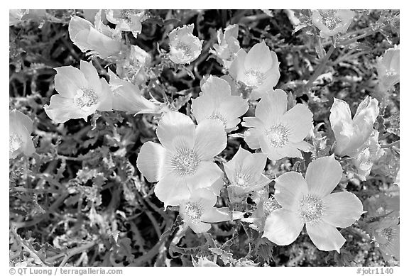 Blazing Star flowers. Joshua Tree National Park (black and white)