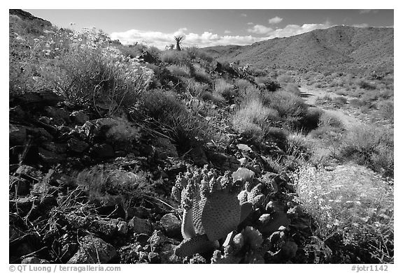 Beavertail cactus and brittlebush. Joshua Tree National Park (black and white)