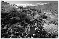 Beavertail cactus and brittlebush. Joshua Tree National Park, California, USA. (black and white)