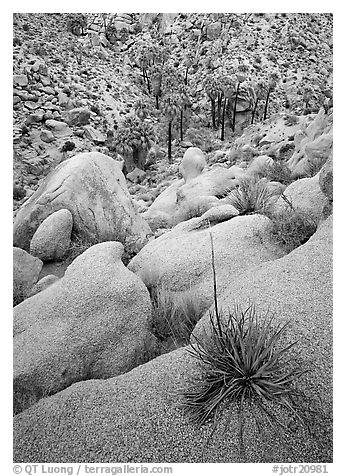Sotol on boulder above Lost Palm Oasis. Joshua Tree  National Park (black and white)
