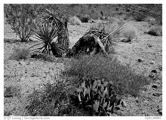 Variety of desert plants. Joshua Tree  National Park (black and white)