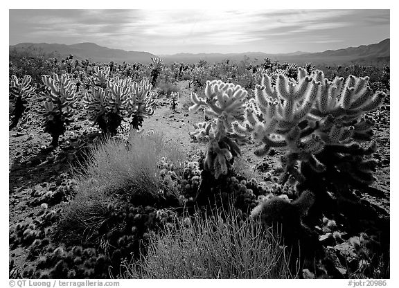 Forest of Cholla cactus. Joshua Tree  National Park (black and white)