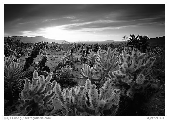 Cholla cactus garden, sunrise. Joshua Tree  National Park (black and white)