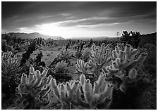 Cholla cactus garden, sunrise. Joshua Tree National Park ( black and white)
