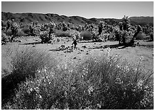 Desert Senna and Chola cactus. Joshua Tree National Park ( black and white)